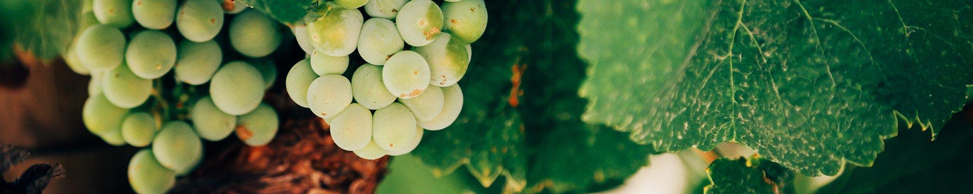 Vins Vert